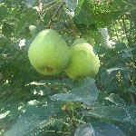 Pear tree in the garden