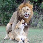 Lion activities...