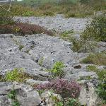 This is what The Burren is: flowers growing out of rocks