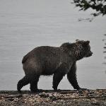 Bear wandering down near the camp trail