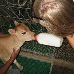 Feeding baby cows