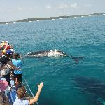 Whales at Hervey Bay - Freedom Whale Watching