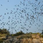 Carlsbad_Bat Flight 2