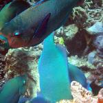 Coral eating fish