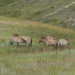 Tkahi: les chevaux de Prjevalski
