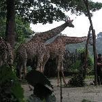 giraffe's meal time