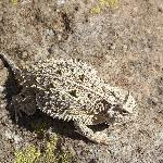horned toad in the garden