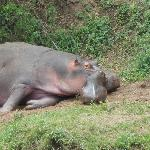 mother and baby hippo across from our site