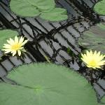 Kew Gardens Waterlily