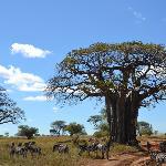 baobab et zèbres