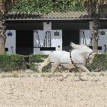 Beautiful Andalusian Horse in Training
