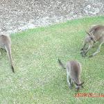 Kangaroos at front of apartment