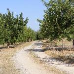 Avenue of Carob trees to villa
