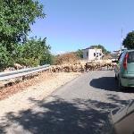 Sheep Crossing.