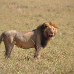 lion solitaire