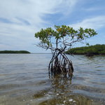 In the mangroves around Big Pine Key
