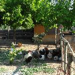 resident hens with rooster