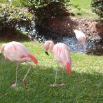 Pink Flamingos on Hyatt grounds
