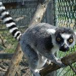 One of the Lemurs