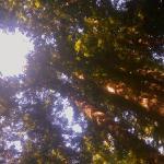 Catehdral Redwoods