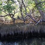 Entre manglares...