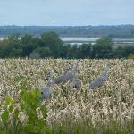 Sandhill cranes in corn field