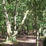 The National Trust's 'Bulkeley Woods'