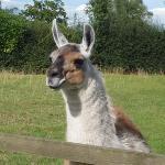 A friendly llama!