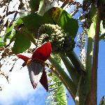 Banana plant flowering was a site to see the guide described how the fruit is formed and the dif