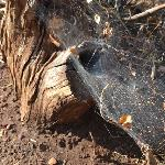 Funnel spider web