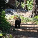 A bear at Yosemite