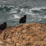 Red Billed Oyster catchers