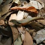 Lizard Island Skink