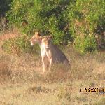 attacco di leonesse a gazzelle