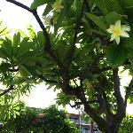 one of many Plumeria trees