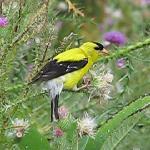 Goldfinch (Big Meadow)