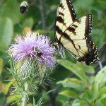 Swallowtail Butterfly (Big Meadow)