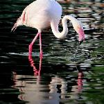 Flamingo bird , taken by : Salamah.y , at Riyadh zoo