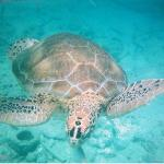 snorkelling with Turtles courtesy of Captain Sam