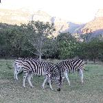 zebras and sunset on Drakenburg Mountains