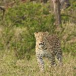 Leopard at Porini Lion