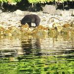 bear looking for dinner