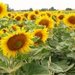 Sunflowers in fields surrounding les Limornieres