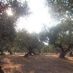 olive trees by hotel