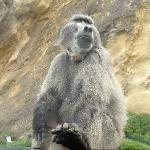 Baboon Sitting on our hood