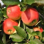 Herbst im Apfelland 3