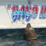 Poncho the 7ft Sea Lion being fed by local fishermen