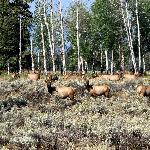 Elk In The Cottonwoods/Aspen