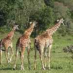 Giraffen im Arusha Nationalpark ein paar Meter von Hatari entfernt