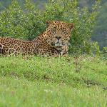 leopardo en aberdares